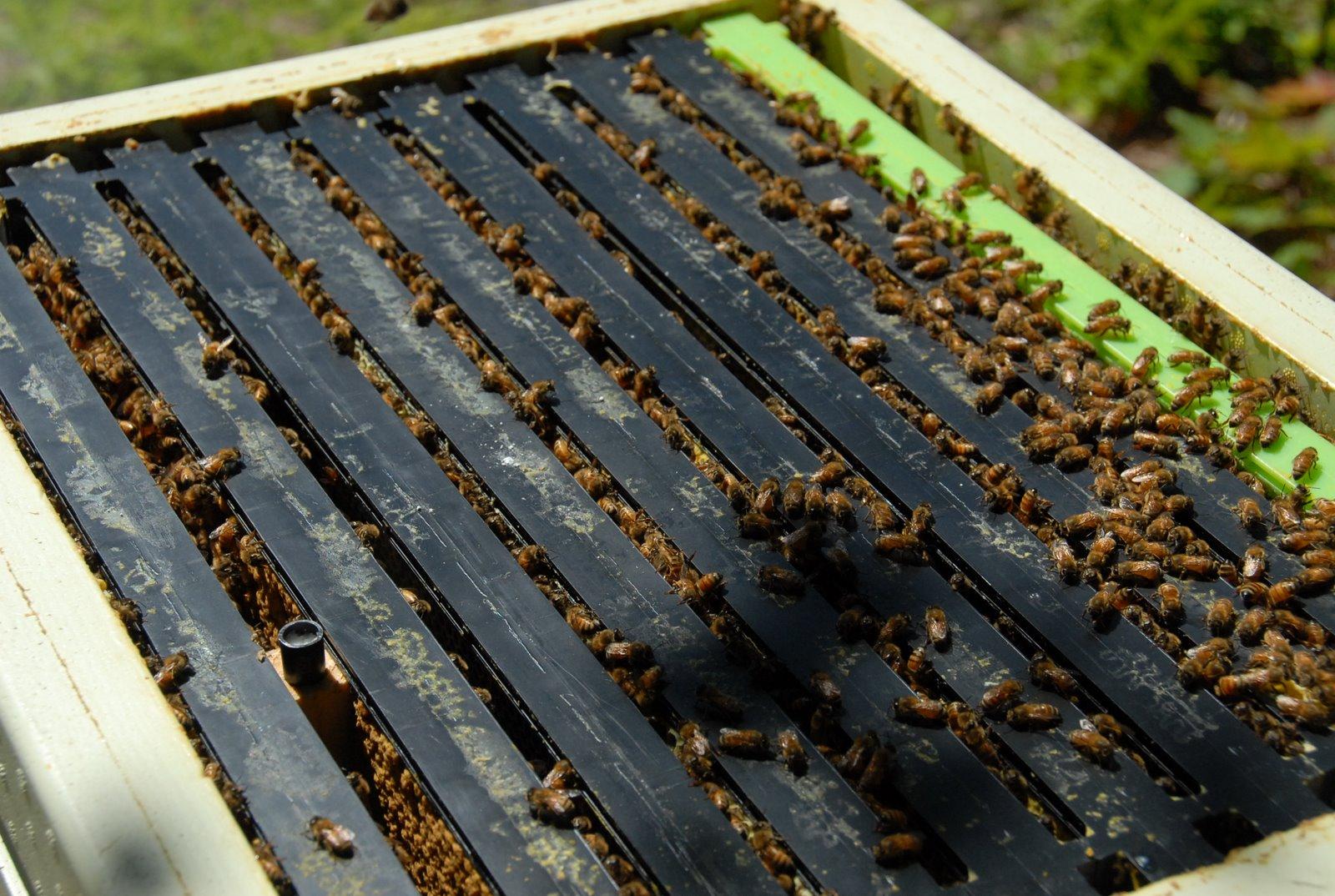 Приветствуйте российскую Королеву | New Hampsha' Bees - photo#26