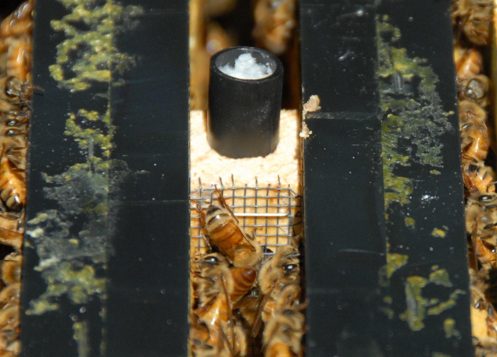 Приветствуйте российскую Королеву | New Hampsha' Bees - photo#14