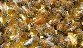 hive 2 queen
