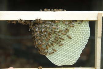 Bees making their own foundation
