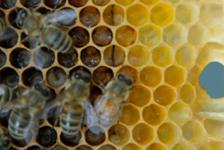 An egg and larvae in Hive 7