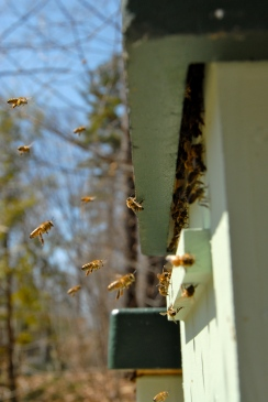 Bees using a top entrance