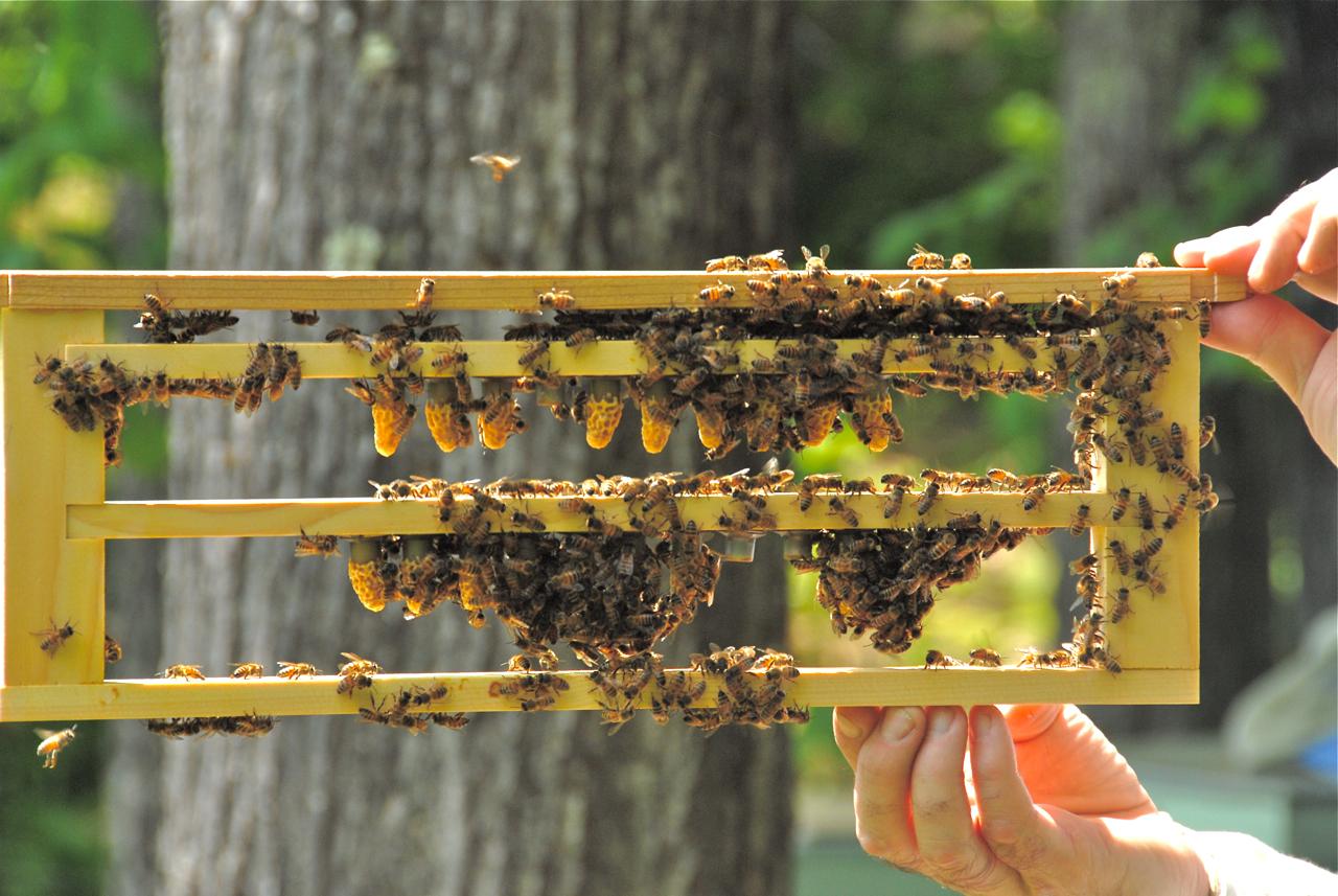 queen bee raising the life of bee