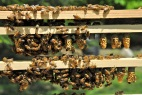 Nurse bees caring for queen cells on harvest day