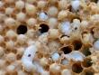 mites on larvae