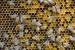 pollen comb