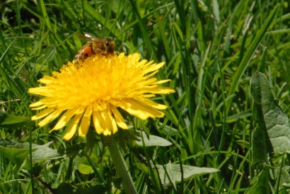 Using organic lawn fertilizer provides safe forage for your bees.