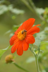 Collecting pollen on a Mexican sunflower